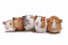 Fünf Meerschweinchen Stockfoto