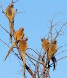 Fünf mousebirds in einem Baum Stockbilder