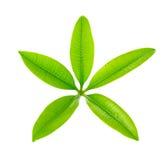 Fünf Punkt-grünes Blatt lokalisiert auf weißem Hintergrund Stockbilder