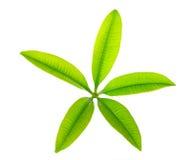 Fünf Punkt-grünes Blatt lokalisiert auf weißem Hintergrund Stockbild