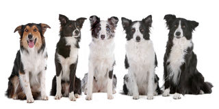 Fünf Randcolliehunde stockbilder