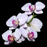 Fünf rosa Orchideen auf einer Niederlassung Lizenzfreie Stockfotografie