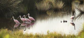 Fünf rosa Spoonbills, die in die Süd-Vereinigten Staaten gebürtig sind, teilen einen Teich Stockbild