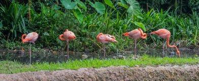 Fünf rosa und orange Flamingo, der im seichten Wasser Singapur steht Stockbilder
