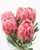 Fünf rote Proteablumen Stockfotografie