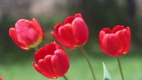Fünf rote Tulpen öffnen die Blüte, die im Wind an einem sonnigen Tag durchbrennt stock video footage