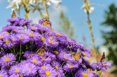 Fünf Schmetterlinge und Busch von purpurroten Astern Stockbild