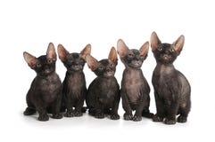 Fünf schwarze Sphinxkätzchen sitzen getrennt auf Weiß lizenzfreie stockfotografie