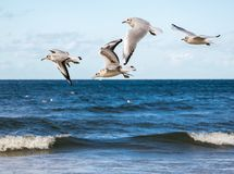 Fünf Seemöwen, die über das blaue Meer fliegen stockbilder