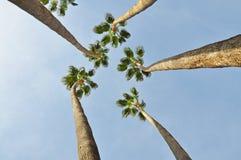 Fünf sehr lange Bäume gerade zum Himmel stockfotos