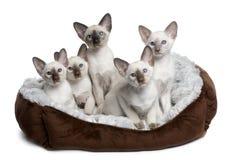 Fünf siamesische Kätzchen, die im Katzebett sitzen Lizenzfreies Stockbild