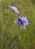 Fünf-Stelle Burnet auf purpurroter Blume Lizenzfreie Stockfotos
