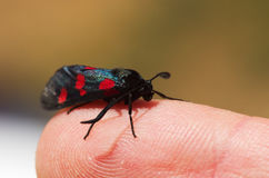 Fünf Stelle Burnet-Motte stellte auf einen menschlichen Finger - Zygaena-trifolii ein Stockfotografie