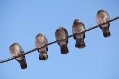 Fünf Tauben, die auf einem Draht sitzen Stockbild
