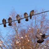 Fünf Tauben sitzen auf Drähten Stockbilder