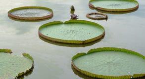 Fünf Victoria waterlily auf Wasser Lizenzfreies Stockbild