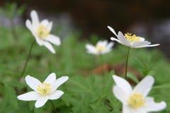 Fünf weiße Anemonen stockfotografie