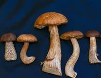 Fünf weiße Pilze und brauner Kappenboletus Lizenzfreie Stockfotos