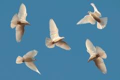 Fünf weiße Tauben fliegen in den Himmel Stockbild