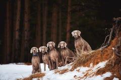 Fünf Weimaraner-Hunde, die auf dem Felsen sitzen lizenzfreie stockfotos