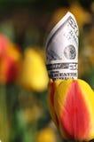 Fünfzig Dollarschein in einer gelben und roten Tulpe lizenzfreie stockfotografie