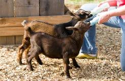 Füttern Sie Ziegen mit der Flasche Stockfotos
