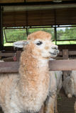 Fütterung Alpaka Lizenzfreies Stockfoto