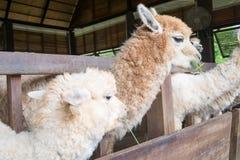 Fütterung Alpaka Stockbilder