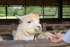 Fütterung Alpaka Lizenzfreie Stockfotos