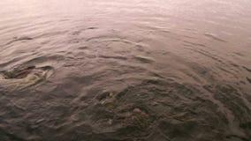 Fütterung der Fische Pangasius im Teich stock footage