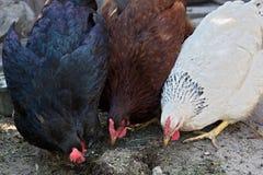 Fütterung der Hühner Lizenzfreie Stockfotos