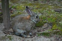 Fütterung der Kaninchen in ÅŒkunoshima, Japan stockbilder