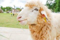Fütterung der weißen Schafe im berühmten Platz in Thailand Stockfotos