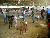 Fütterung der Ziegen, Los Angeles County-Messe, Fairplex, Pomona, Kalifornien stockfotos