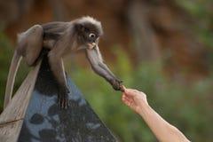 Fütterung des Affen (Presbytis-obscura Reid). Lizenzfreies Stockbild