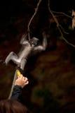 Fütterung des Affen (Presbytis-obscura Reid). Stockfoto