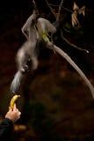 Fütterung des Affen (Presbytis-obscura Reid). Lizenzfreies Stockfoto