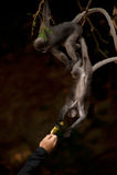Fütterung des Affen (Presbytis-obscura Reid). Stockbilder