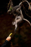 Fütterung des Affen (Presbytis-obscura Reid). Stockbild