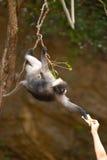 Fütterung des Affen (Presbytis-obscura Reid). Lizenzfreie Stockbilder