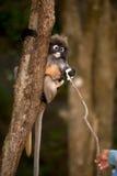 Fütterung des Affen (Presbytis-obscura Reid). Lizenzfreie Stockfotografie