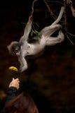 Fütterung des Affen (Presbytis-obscura Reid). Lizenzfreie Stockfotos