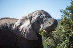 Fütterung des afrikanischen Elefanten Stockbild