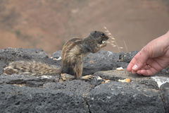 Fütterung des Eichhörnchens Lizenzfreie Stockbilder
