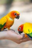 Fütterung des Liebesvogels in der Hand Stockbilder
