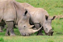 Fütterung des weißen Nashorns Lizenzfreie Stockbilder