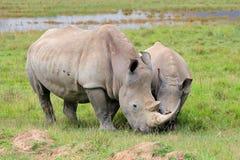 Fütterung des weißen Nashorns Lizenzfreies Stockbild