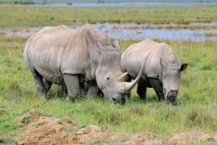 Fütterung des weißen Nashorns Lizenzfreie Stockfotos