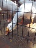 Fütterung einer Ente Lizenzfreie Stockbilder