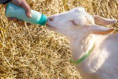 Fütterung einer jungen Ziege mit Flaschenmilch lizenzfreies stockfoto